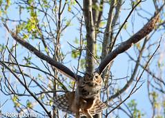 Great Horned Owl (tavarez.niurka) Tags: great horned owl hooter hooters bubo virginianus raptor predator bird ave hunter casadero buf hontza сава sova бухал mussol ugle uil öökull pöllö hibou curuxa eule κουκουβάγια bagoly ugla gufo pūce pelėda був kokka sowa coruja bufniță сова búho uggla tylluan סאָווע monmouth county