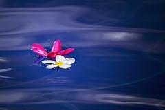 La insoportable levedad del ser (Claudia Pino) Tags: azul belleza bokeh claudiapino canon6d 300mm flor femenina flores fleur flower flowers luz naturaleza wwwclaudiapinocom exotica yellow agua water fluir blue macrolens springtime