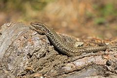 Podarcis muralis (McGuiver) Tags: canon canoneos60d canon100400 wildlife podarcismuralis sargantana lagartija lizard pirineos pirineus pyrenees andorra
