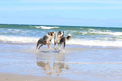 15/52 ... Pesky younger brother ... (.Lils.) Tags: 52weeksfordogs drago bordercollie bluemerle beach