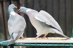 21 April 2017 (21) (AJ Yakstrangler) Tags: yakstrangler pigeon pigeons