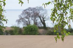 ... landscape ... (jane64pics) Tags: landscape ruleofthirds breakingtherules trees tree birch field horizon 52weeksof2017 week15 janefriel janefriel2017 greystonescameraclub gcc wicklow scenery cowicklow spring springtime