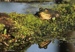 life is froggin great... (don.white55 never caught up) Tags: americanbullfroglithobatescatesbeianus wildwoodpark harrisburgpennsylvania donwhite donpwhitephotography thatswildnaturephotography canone0s7od canoneos70dtamronsp150600mmf563divcusda011 tamronsp150600mmf563divcusda011 animal amphibian moss mossy fallentree deadwood nature wildlife reflection eyes protrudingeyes bigeyes marsh morning outdoors habitat herpetology herp harrisburgpa