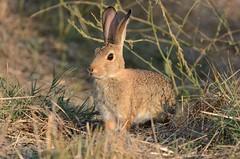Hoppy Easter - Desert Cottontail (Brad Rangell) Tags: destercottontail cottontail rabbit happyeaster easterbunny california lodi