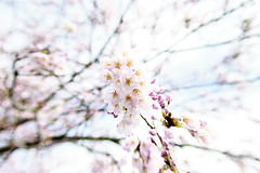 Cherry Blossom (Johnnie Shene Photography(Thanks, 2Million+ Views)) Tags: cherry cherryblossom blossom blossoming blossomed blooming bloomed bloom flora floral flower plant flowering spring day lowangle korea cheju jeju depthoffield bokeh nature natural wild wildlife livingorganism tranquility lighteffect bright luminosity branch petals corolla photography horizontal outdoor colourimage fragility freshness nopeople foregroundfocus adjustment pink isolated tree beautiful awe wonder canon eos600d rebelt3i kissx5 sigma 1770mm f284 dc macro lens 벚꽃 꽃 봄 봄꽃 체리 나무