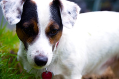 Discovery (~KJ~) Tags: pets dog terrier jrtc jackrussell dogs