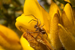 spider in the gorse (jon lees) Tags: invertebrate insect spider gorse northernireland lead mines whitespots countydown newtownards