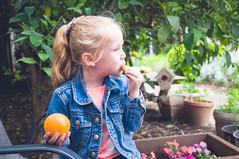Day 113 ~ taking a citrus break (champbass2) Tags: day113 day1132017 2017 day365project granddaughter garden gardenhelper takingabreak citrus orange