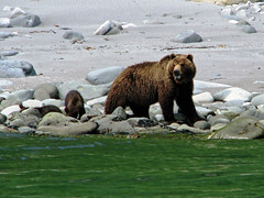 brown bear + cubs on the shoreline at cape kambal'nyy, kamchatka 3 (Russell Scott Images) Tags: cape mys kambal'nyy kamchatkapeninsula russianfareast russia kamchatkabrownbearursusarctossspberingianus cub