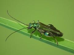 Oedemera nobilis (male) (ruiamandrade) Tags: oedemera nobilis oedemeridae coleoptera escaravelho beetle insectos insects nature natureza