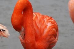 Flamingo (Evi Lesener) Tags: flamingo waterbird wasservogel vogel bird tierpark hagenbeck hamburg sony