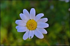 white daisy (Love me tender ♪¸.•*´¨´¨*•.♪¸.•*´) Tags: dimitrakirgiannaki photography greece greek nikond3100 blur bokeh flowers daisy colors light evoia πασχα λουλουδι χρωμα ελλαδα green