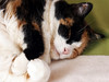 In sweet tranquility ~ (rotraud_71) Tags: sleeping cat calico calinette vanagram blinkagain judithscat