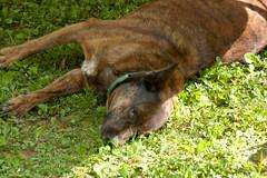 Good People Together (16) (tommaync) Tags: dog pet grass animal nc nikon northcarolina canine celebration gathering april collar juliette 2014 chathamcounty d40