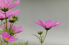 DSC_0281.jpg (kensol72) Tags: flower flora nikon australia tasmania hobart nikkor unlimitedphotos 55300mm d5100