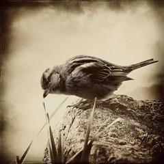 L'affam (manachpatrick) Tags: bird texture monochrome birds fauna square sparrow collaboration