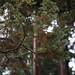 sawara falsecypress  tree 4
