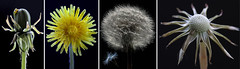 Days of changes (please comment) (Curl66) Tags: life flower macro nature closeup canon photography scotland dandelion seeds growing changes moray