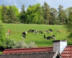 Neighbours (:Linda:) Tags: tree germany cow village cattle hill meadow thuringia pasture dachziegel rooftile brden dachschindel