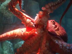 ocean red sea eye animal animals lens 50mm aquarium bay monterey marine arms heart adult large nopeople olympus exhibit octopus aquatic zuiko undersea om1 mend saltwater tentacles suckers mollusk mantel mollusks ep2 f12 cephalopods allmanual molloscs