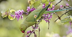 More fun with Rose-ringed Parakeets (fruitcrow) Tags:
