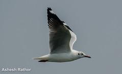 brown headed gull (asheshr) Tags: bird nikon gull brownheadedgull d5100