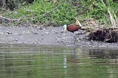 species: Actophilornis africanus. African Jacana - Queen Elizabeth National Park, Uganda