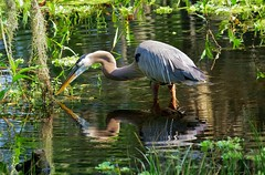 Taking Advantage Of The Situation (Gary Helm) Tags: county usa fish reflection bird nature water outside us alley unitedstates florida wildlife alligator feathers northamerica perched dropped greatblueheron osprey polk centralflorida birdbrain alligatoralley circlebbarreserve
