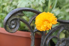 ranunculus (packofhuskies) Tags: yellow spring ranunculus ouryard