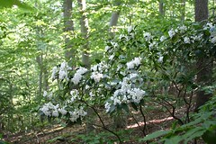 "Mountain Laurel in bloom • <a style=""font-size:0.8em;"" href=""http://www.flickr.com/photos/92887964@N02/14028644679/"" target=""_blank"">View on Flickr</a>"