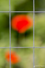 Prison flowers (Alberto Ligori) Tags: red flower nature eos natura campagna alberto tamron fiore rosso puglia lecce 70300 apulia 650d ligori pugliesisinasce canoniani totalphotoshop