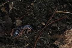 millipede (patrickcleere55) Tags: alabama millipede