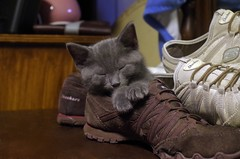 Baby Gustav (M@rtha Decker) Tags: kitten cat pet kitty feline animal shoe skechers gustav tom tomcat gray russian blue pentax k30 marthadecker flickriver