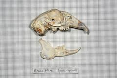BrownHareSkullSide (JRochester) Tags: brown skeleton skull hare bone capensis lepus osteology