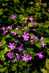 Dzwonki rozpierzche. (Spreading bellflowers.) ( ) Tags: pink flower green star purple arm blossom five meadow violet petal kwiatek spreading kwiat bloosom bellflower fioletowe ka rowy fioletowy dzwonek r fiolet patki rowe rozpierzchy przydroe