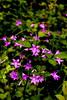 Dzwonki rozpierzchłe. (Spreading bellflowers.) (§ ßΘΘ⊂нє⊂к) Tags: pink flower green star purple arm blossom five meadow violet petal kwiatek spreading kwiat bloosom bellflower fioletowe łąka różowy fioletowy dzwonek róż fiolet płatki różowe rozpierzchły przydroże