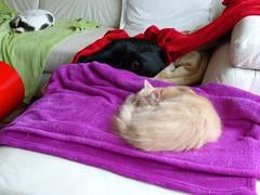 P1040910 (frankbehrens) Tags: cats tom cat chats kitten chat gatos gato katze katzen kater