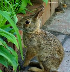 Little Baby Rabbit (Harry Lipson III) Tags: rabbit bunny sweet cutie wabbit bunnyrabbit bunnywabbit harrylipsoniii harrylipson harryshotscom harrylipson3 visitharryshotscom iinviteyoutovisitmywebsiteharryshotscom littlebabyrabbit theunsungphotographer theunsungphotographercom totalslackerphotographycom totalslackerphotography thephotographyofharrylipson