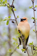_53F0267 Cedar Waxwing (~ Michaela Sagatova ~) Tags: spring cedarwaxwing dundasvalley birdphotography michaelasagatova
