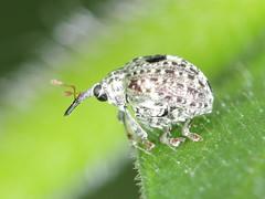 Cionus hortulanus (Scrubmuncher) Tags: coleoptera beetles uk insects entomology rosspiper