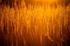 golden grass processed by fernotte, thank you very much (Smo_Q) Tags: nature grass poland polska honey polen goldenhour trawy miód pentaxk5
