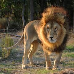 Arabian King (charmnic) Tags: africa wild vacation nature animal southafrica zoo feline lion ferocious paarl pantheraleo kleindrakenstein arabianlion