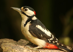 woody1 (Dawn Porter) Tags: bird woodpecker wildlife somerset wildbird greaterspottedwoodpecker