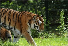 Siberische tijger (Panthera tigris altaica) (7D011417) (Hetwie) Tags: animals zoo tijger dieren safaripark beeksebergen dierentuin pantheratigrisaltaica siberischetijger koningstijger