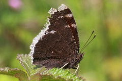 Trauermantel or Mourning Cloak or Camberwell Beauty (Nymphalis antiope) (bayucca) Tags: butterfly papillon borboleta mariposa farfalla schmetterling nymphalidae mourningcloak camberwellbeauty nymphalis nymphalinae trauermantel edelfalter nymphalini nymphalisantiope
