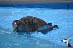 Phoques Communs / Common's Seals (NamikaOrcas) Tags: canada mammal aquarium marine quebec marin seal qubec common phoque mammifre commun