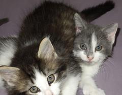 kittens (greenelent) Tags: nyc cute animal brooklyn cat kitten adorable kitty photoaday 365