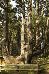 Octopus Tree at Cape Meares, Oregon (Anna Calvert Photography) Tags: statepark park nature oregon landscape coast scenery view unitedstates hiking pines environment spruce hikingtrail capemeares octopustree piceasitchensis oregonheritagetree sitksspruce