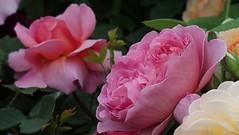 Princess Alexandra of Kent Rose (britchickphoto) Tags: uk pink flowers roses flower june rose kent birmingham display blossom unitedkingdom live olympus bbc bloom stylus friday 13th westmidlands nec rhs 2014 englishrose davidaustin june14 gardenersworld davidaustinroses princessalexandra gardenersworldlive floralmarquee thenec princessalexandraofkent britchickphoto ausmerchant olympusstylus1 stylus1 gardenersworldlive2014 13062014 bbcgwlive