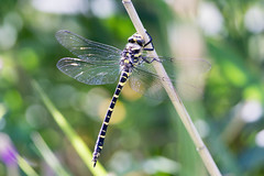 Black-ringed Dragonfly